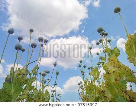 Opium Poppy Capsules