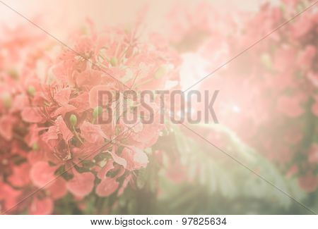 Red Flamboyant Flower Background