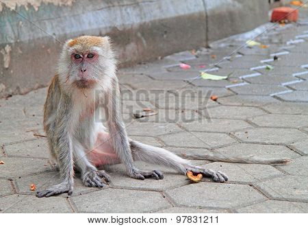 old furry macaque is sitting on asphalt