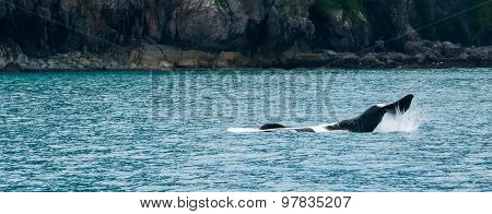 Orca Upside Down Smacking Tail