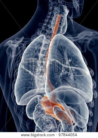 medically accurate illustration of the esophagus
