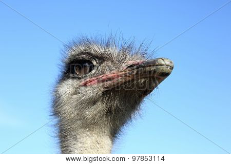 The Head Of The Ostrich