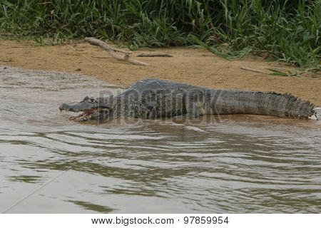 An alert, poised Caiman in the Pantanal region of Brazil poster