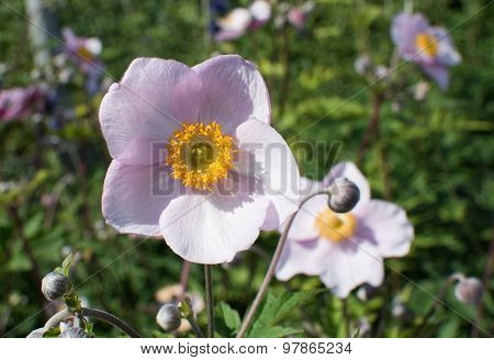 Pink rosemallow flowers