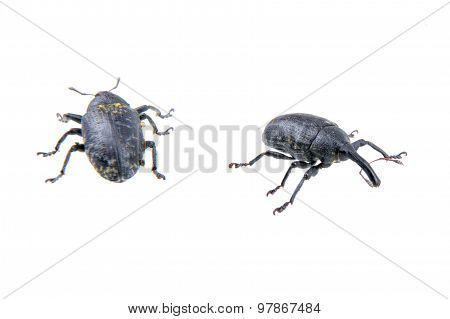 Two Black Bugs On A White Background
