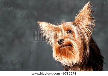 a Yorkshire Terrier portrait with good lighting and a gray background poster