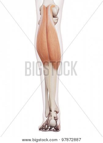 medically accurate muscle illustration of the gastrocnemius