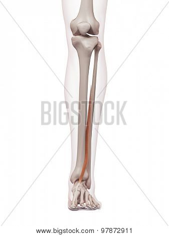 medically accurate muscle illustration of the extensor hallucis longus