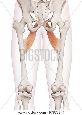 medically accurate muscle illustration of the adductor brevis