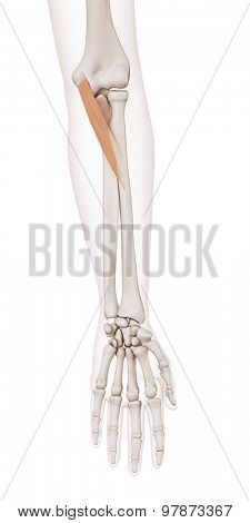 medically accurate muscle illustration of the pronator teres