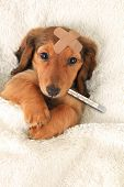 Sick dachshund puppy with a bandaid and thermometer.  poster