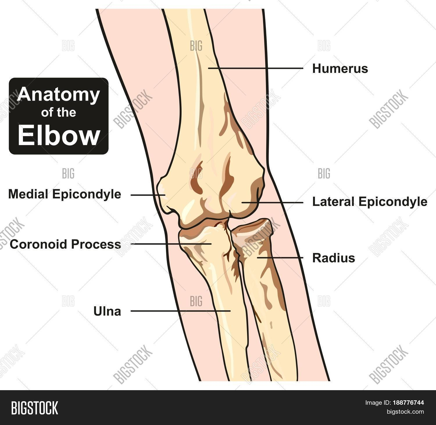 Anatomy Elbow Joint Image & Photo (Free Trial) | Bigstock