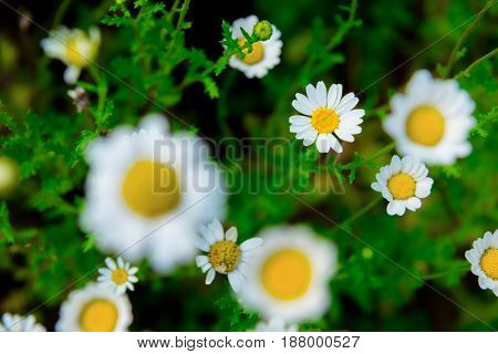Close Up Daisy Flower On Green Meadow