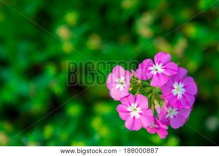 Close Up Pink Geranium Flowers In Garden