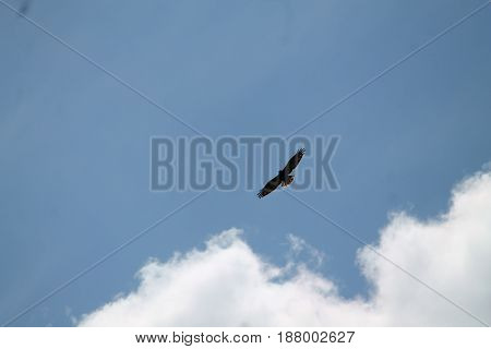 beautiful big adult eagle calm soar in deep blue sky
