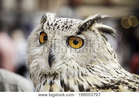 Owl detail of a large wild bird animal in nature fly and freedom