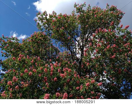 Blossoming pink chestnuts against the blue sky in the city. Red horse-chestnut, Aesculus carnea, hybrid Aesculus hippocastanum