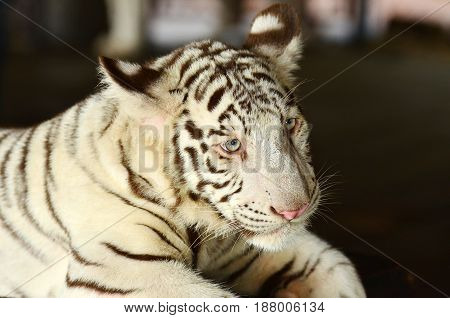 Tiger in Khao Kheow zoo in Chonburi Thailand