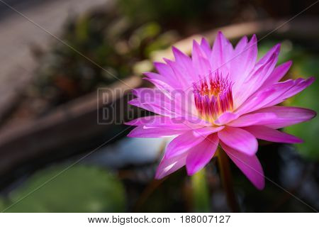 Close up waterlily or lotus flower on blur background.