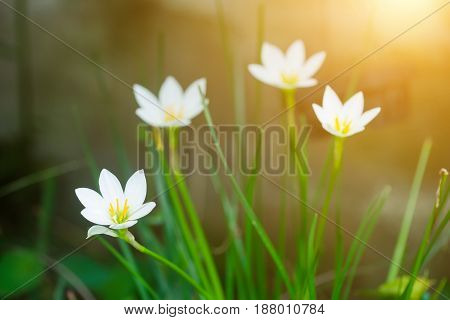 Beautiful Rain Lily Flower. Zephyranthes Lily ,fairy Lily, Little Witches. (zephyranthas Sp.)