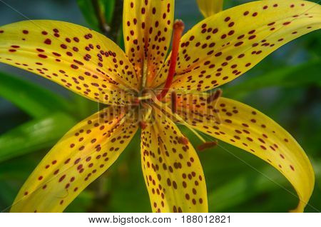 Yellow lily flower in the garden. Shot against gree natural background