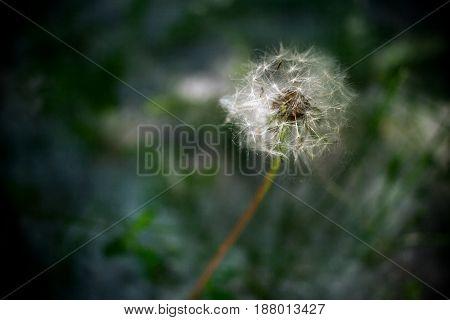 Single White Dandelion On Dark Background.