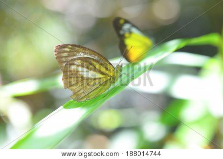 Butterflies are feeding mineral at Kaeng Krachan National Park, Thailand.