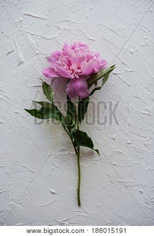 One fresh peony flower on textured background, botany fineart photography