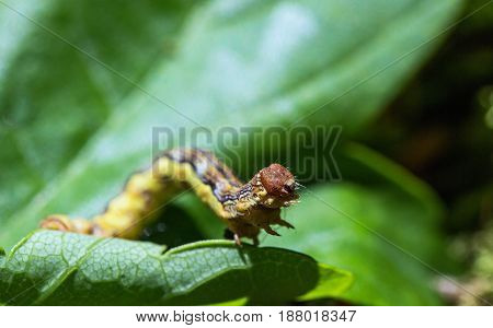 macro of a caterpillar on a leaf
