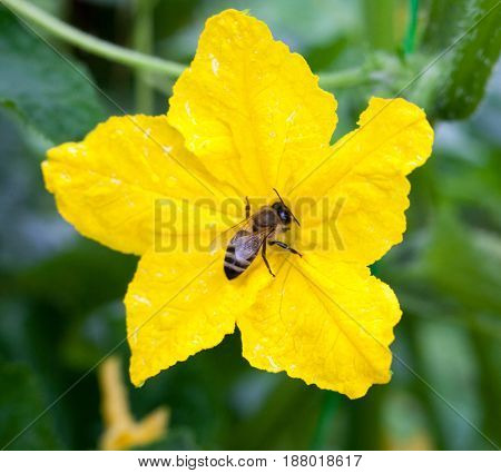 Bee pollinating the yellow cucumber flower. Close-up.