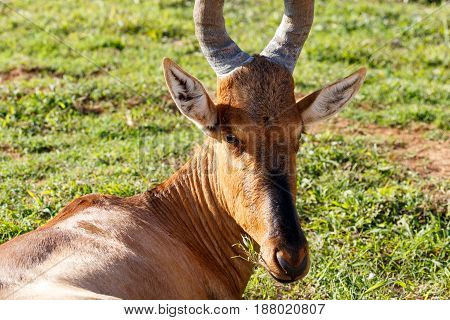 Red Hartebeest Sitting And Munching On His Grass