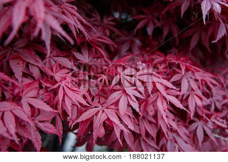 Japanice maple with red leaves in the springtime