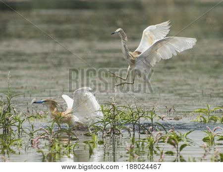 Pair Of Squacco Herons Fighting In Water On Grass Reeds