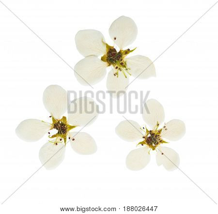 Pressed and dried white delicate transparent flower apple tree isolated on white background. For use in scrapbooking pressed floristry (oshibana) or herbarium.
