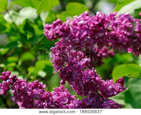 Lilac flowers on a blurred background in a spring sunny day