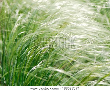 blossoming white flowers of feather grass on a spring sunny day