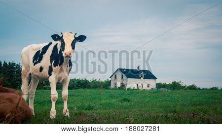 Holstein calf at a farm in Prince Edward Island