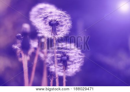 Delicate dandelions with a multicolored background of gentle tones. Selective soft focus