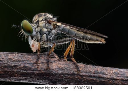 Super macro Robber fly wth prey in nature