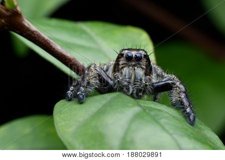 Close up male Hyllus diardi or Jumping spider