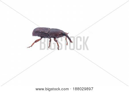 Rice weevil or Sitophilus oryzae isolated on white background
