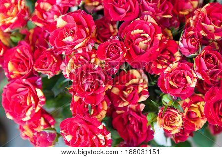 Tiger red spotted rose, Class Abracadabra background
