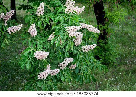 Blossoming chestnut (Castanea sativa) tree in spring