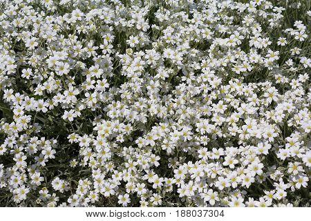 Group of flowering boreal chickweed Cerastium biebersteinii