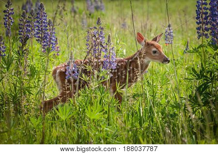 White-Tailed Deer Fawn (Odocoileus virginianus) Stand in Lupin Patch - captive animal
