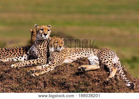 Two cheetahs is watching the savanna. Hills of Masai Mara, Kenya