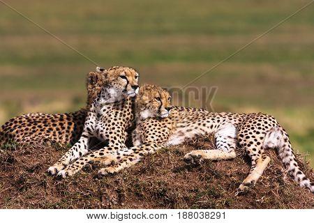 The family of cheetahs. Hills of Serengeti, Africa