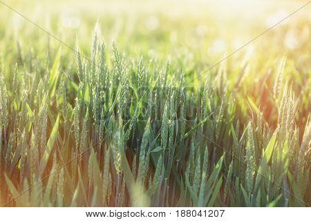 Green wheat field - unripe wheat lit by sunlight, late afternoon in wheat field