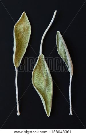 Dry sage leaves (salvia also called garden sage or common sage) on the black background