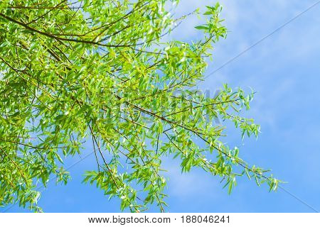tree with green leaves on blue background